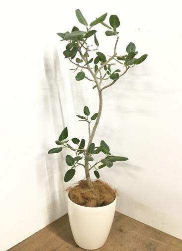 観葉植物 【135cm】 フィカス ベンガレンシス 8号 #23014