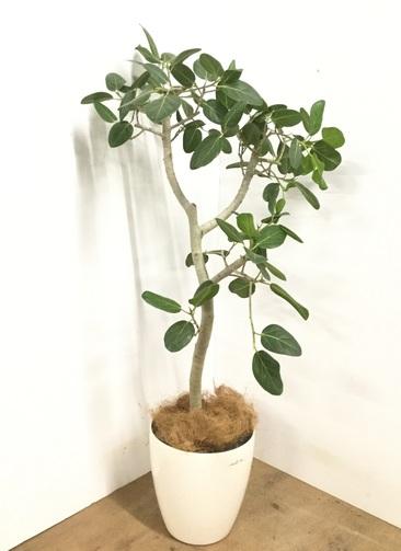 観葉植物 【140cm】 フィカス ベンガレンシス 号 #23016