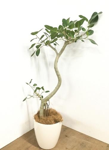 観葉植物 【140cm】 フィカス ベンガレンシス 8号 #23017