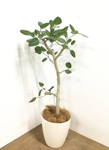 観葉植物 【125cm】 フィカス ベンガレンシス 8号 #23018