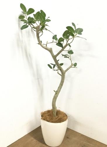 観葉植物 【140cm】 フィカス ベンガレンシス 8号 #23019