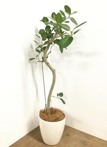 観葉植物 【145cm】 フィカス ベンガレンシス 8号 #23020