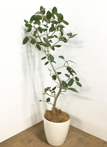 観葉植物 【145cm】 フィカス ベンガレンシス 8号 #23021