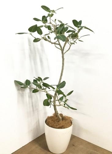 観葉植物 【140cm】 フィカス ベンガレンシス 8号 #23022