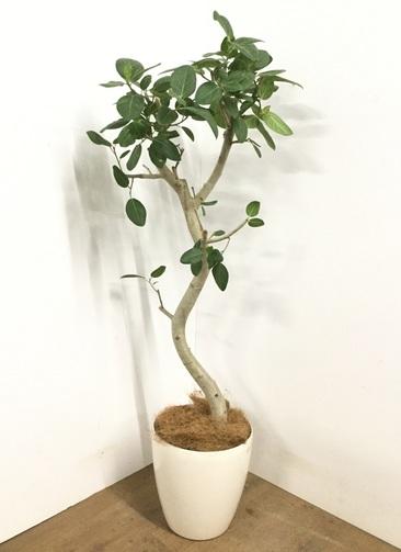 観葉植物 【145cm】 フィカス ベンガレンシス 8号 #23023