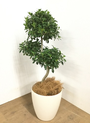 観葉植物 【100cm】 ガジュマル 8号 #23024