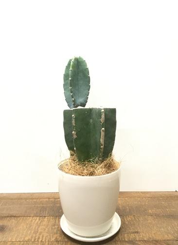 観葉植物 【35cm】 柱サボテン 3号 #23026