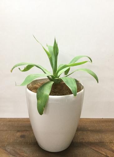観葉植物 【35cm】 アガベ アテヌアータ 6号 #23030