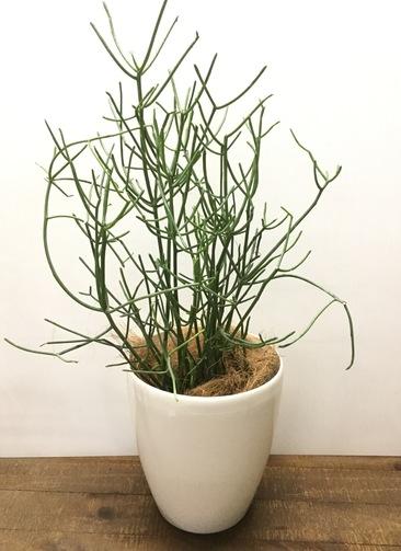 観葉植物 【70cm】ミルクブッシュ 5号 #23031