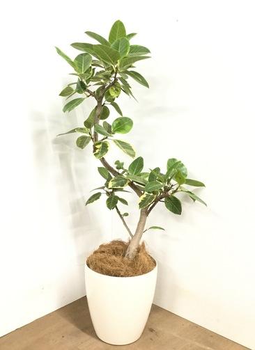 観葉植物 【120cm】 フィカス アルテシーマ 8号 #23033