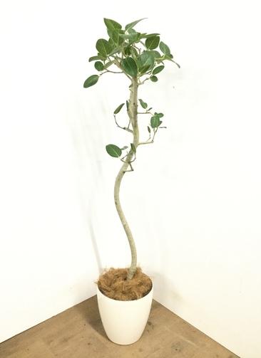 観葉植物 【150cm】 フィカス ベンガレンシス 8号 #23034
