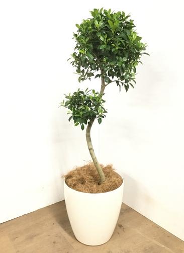 観葉植物 【100cm】 ガジュマル 8号 #23036