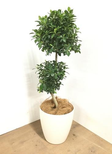観葉植物 【100cm】 ガジュマル 8号 #23037