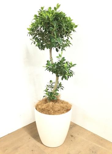 観葉植物 【100cm】 ガジュマル 8号 #23038