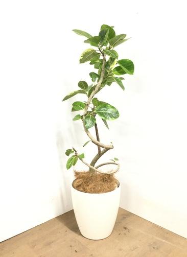 観葉植物 【120cm】 フィカス アルテシーマ 8号 #23041