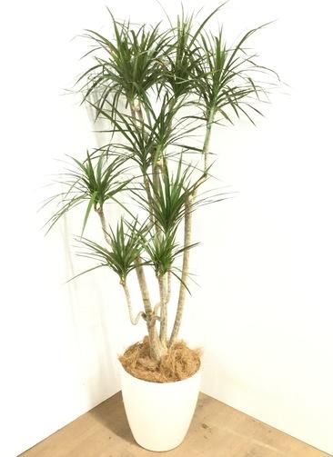 観葉植物 【150cm】 ドラセナ コンシンネ 8号 #23042