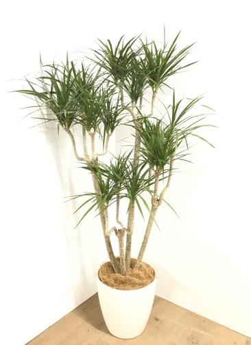 観葉植物 【140cm】 ドラセナ コンシンネ 8号 #23043
