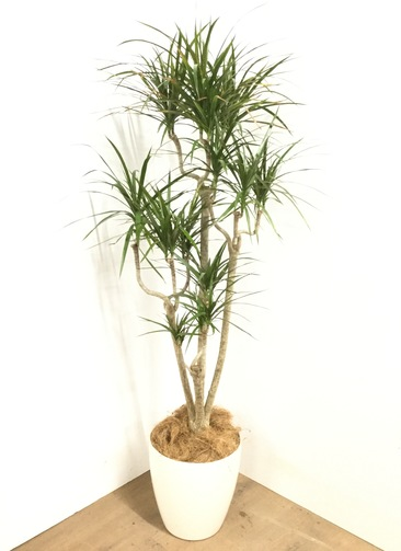 観葉植物 【150cm】 ドラセナ コンシンネ 8号 #23044