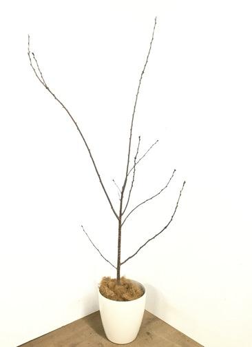 観葉植物 【180cm】桜 ソメイヨシノ 8号 #23045 ※1都3県配送限定商品