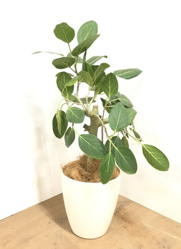 観葉植物 【90cm】 フィカス ベンガレンシス 7号 #23046