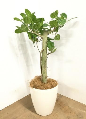 観葉植物 【90cm】 フィカス ベンガレンシス 7号 #23047