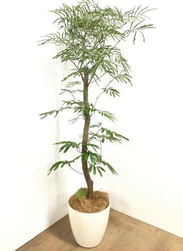 観葉植物 【190cm】 エバーフレッシュ 10号 #23049 ※1都3県配送限定商品