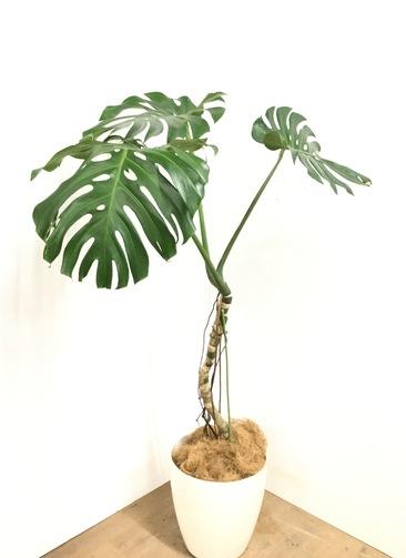 観葉植物 【160cm】 モンステラ アダンソニー 9号 #23050