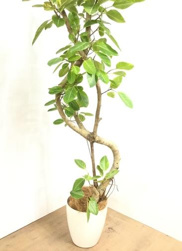 観葉植物 【220cm】 フィカス アルテシーマ 10号 #23051 ※1都3県配送限定商品