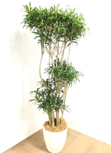 観葉植物 【190cm】 ドラセナ ソング オブ ジャマイカ 10号 #23052 ※1都3県配送限定商品