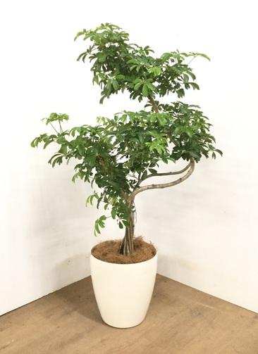 観葉植物 【120cm】シェフレラ レナータ 8号 #23055