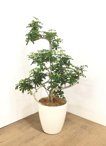 観葉植物 【115cm】シェフレラ レナータ 8号 #23056