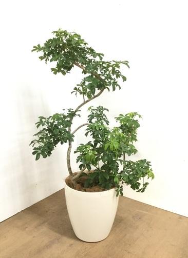 観葉植物 【115cm】 シェフレラ レナータ 8号 #23057