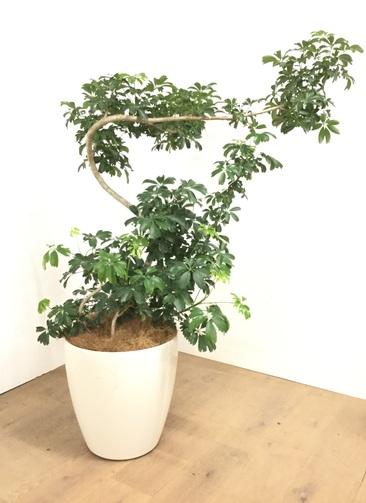 観葉植物 【135cm】 シェフレラ レナータ 10号 #23058 ※1都3県配送限定商品