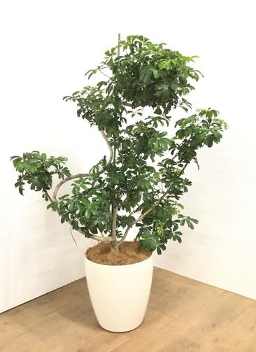 観葉植物 【145cm】 シェフレラ レナータ 10号 #23059 ※1都3県配送限定商品