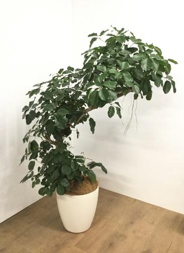 観葉植物 【1都3県 限定配送】 【165cm】シェフレラ 10号 #23060