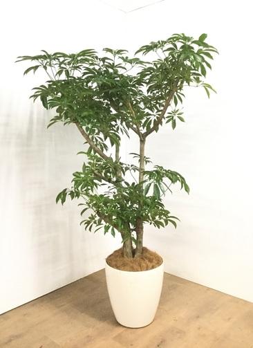 観葉植物 【170cm】 シェフレラ 10号 #23061 ※1都3県配送限定商品