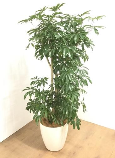観葉植物 【175cm】 シェフレラ 10号 #23062 ※1都3県配送限定商品
