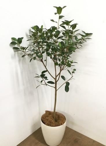 観葉植物 【165cm】 フランスゴムの木 10号 #23083