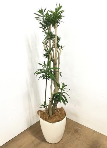 観葉植物 【160cm】 ドラセナ ソング オブ ジャマイカ 10号 #23084