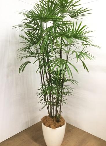観葉植物 【1都3県 限定配送】 【210cm】 シュロチク(棕櫚竹) 10号 #23086