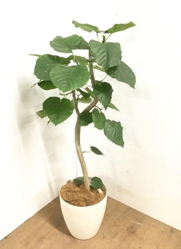 観葉植物 【120cm】 フィカス ウンベラータ 8号 #23090