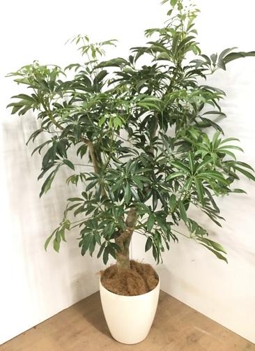 観葉植物 【140cm】シェフレラ 8号 #23091