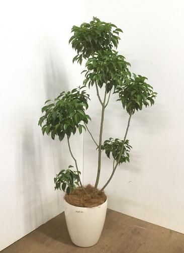 観葉植物 【150cm】 フィカス ベンジャミン 8号 チラシ #23102