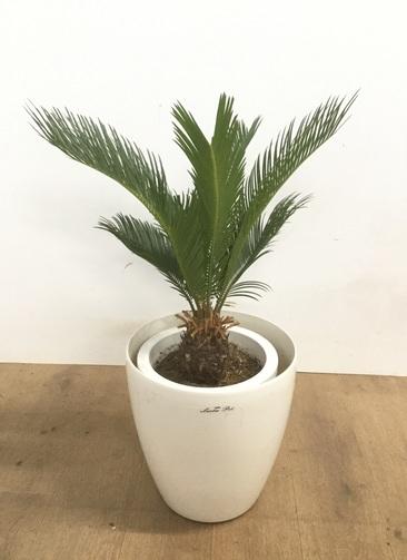 観葉植物 【70cm】 ソテツ 8号 #23103