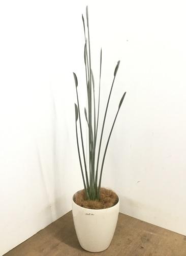 観葉植物 【145cm】ストレリチア ユンケア 8号 #23104