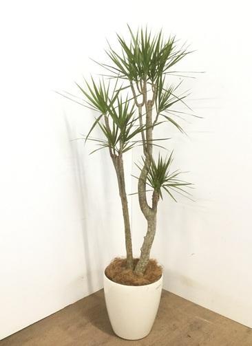 観葉植物 【150cm】 ドラセナ コンシンネ 8号 #23105