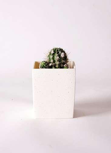 サボテン ロビビア 桃鮮丸(ももせんまる) 3号 ポリストーンキューブSホワイト 付き