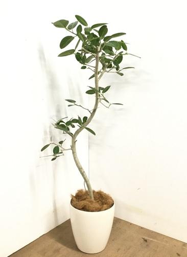 観葉植物 【145cm】 フィカス ベンガレンシス 8号 #23138