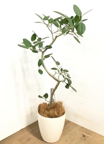 観葉植物 【130cm】 フィカス ベンガレンシス 8号 #23139