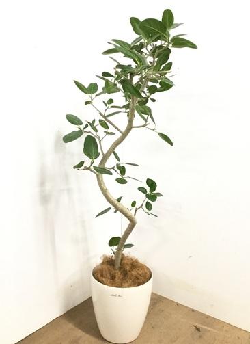 観葉植物 【135cm】 フィカス ベンガレンシス 8号 #23140